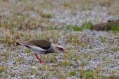 Andean Lapwing — Stock Photo