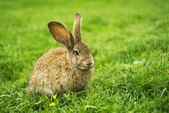 Rabbit on grass — Stock Photo