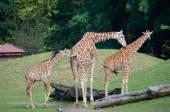 Three giraffes — Stock Photo