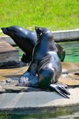 Two sea lions — Stock Photo