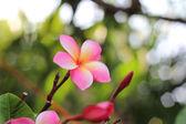 Leeravadee flower — Stock Photo