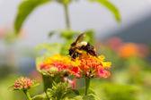 Bumblebee — Stock Photo