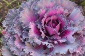 Fantazyjne cabbag — Zdjęcie stockowe