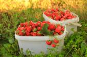 Ripe sweet strawberries in plastic basket on a green lawn. Outdoor — Stock Photo