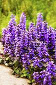 Carpet bugle flowers background (Ajuga reptans) — Foto de Stock