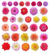 Dahlias — Stock Photo