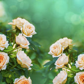 Peach color roses background — Stock Photo