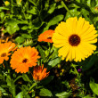 Vibrant Colorful Daisy Gerbera Flowers in nature — Stock Photo