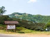 Tea plantation in Chiang Rai, Thailand — Foto de Stock