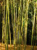 Bosque de bambú — Foto de Stock