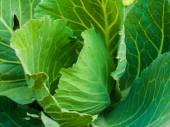 Fresh cabbage in the vegetable garden  — Stock Photo