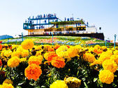 Marigold flower (Tagetes patula L.)  garden with the building ba — Stock Photo