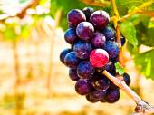 Bunch of red grapes with green leaves in Wine yard in Nakorn Ratchasima, Thailand — Stock Photo