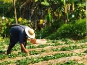 Farmer cultivated in strawberry farm, Chiang rai, Thailand — Foto Stock