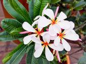 White Plumeria flower(frangipani flowers, Frangipani, Pagoda tre — Stock Photo