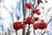 Rowan berries on a tree under the first snow on a frosty autumn day — Stock Photo