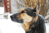German Shepherd catches snowflakes during a snowstorm in winter — Stock Photo