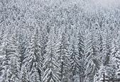 Forest in the mountains of Bulgaria in Bansko — Stock Photo