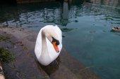 Cisne mendigando comida en el orilla del lago de Garda — Foto de Stock