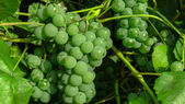 Green grapes on the vine — Stock Photo