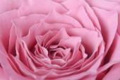 Closeup of pink rose in full bloom — Stock Photo