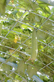 Luffa gourd plant — Stock Photo