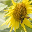 Closeup of a bee on a sunflower — Stock Photo #58720079