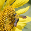 Closeup of a bee on a sunflower — Stock Photo #58720181