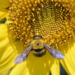 Closeup of a bee on a sunflower — Stock Photo #58720223