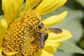 Closeup of a bee on a sunflower — Stock Photo