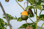 Hanging pumpkin — Stock Photo