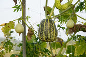 Fresh gourds — Stock Photo