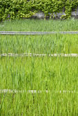 Closeup of green water grass — Stock Photo