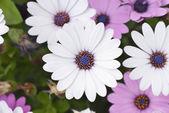 Крупным планом цветков белая dimorphotheca — Стоковое фото