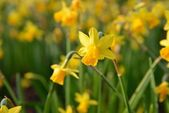 Full blown narcissus flowers in a garden — Stock Photo