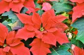 Closeup of Red colored poinsettia leaves — Stock Photo