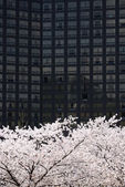 Full blown Korean cherry blossoms in Seoul City — Stock Photo