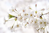Closeup of Korean cherry blossoms in full bloom — Stock Photo