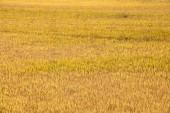 Rice paddy in autumn — Stock Photo