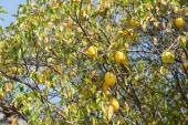 Quince on a tree — Stock Photo