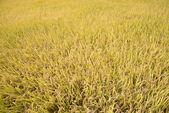 Full ripen golden rice paddy in autumn — Stockfoto