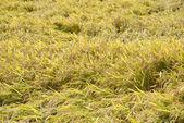 Full ripen golden rice paddy in autumn — Stock Photo