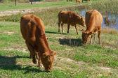 Korean Native Cattle in a field — Photo