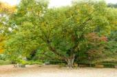Old willow tree — Stock Photo