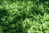 Colony of Hosta — Stock Photo
