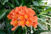 Clivia miniata in full bloom — Stock Photo