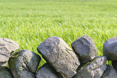 Close-up of green barley field with basaltic stonewall — Stock Photo