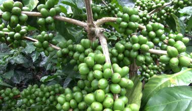 Coffee Plants, Plantations, Farms, Nature — Stock Video