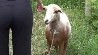 Sheep, Lambs, Livestock, Farm Animals — Stock Video