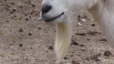 Goats, Farm Animals, Goatee — Stock Video